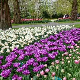 Keukenhof Amsterdam Tulip Garden